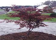 Ribbonleaf Japanese Maple